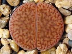 Lithops hookeri v. marginata C 154