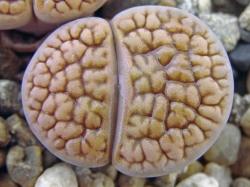 Lithops hookeri v. vermiculate