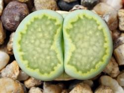 Lithops julii ssp. fulleri 'Fullergreen' C 056a