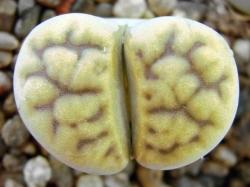 Lithops karasmontana v. mickbergensis