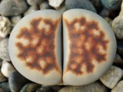 Lithops karasmontana v. summitatum