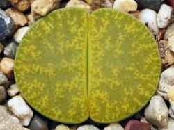 Lithops lesliei 'Albinica' C 036a