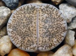 Lithops lesliei ssp. burchelii C 302