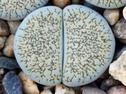 Lithops lesliei ssp. burchellii C 308