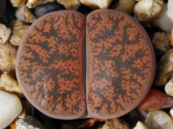 Lithops lesliei v. minor 'Witblom' C 006a