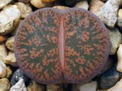 Lithops lesliei v. rubrobrunnea C 017