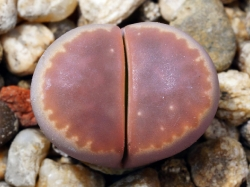 Lithops olivacea v. nebrownii C 162b