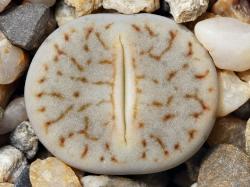 Lithops pseudotruncatella ssp. archerae C 104