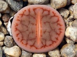 Lithops pseudotruncatella ssp. dendritica C 071