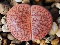 Lithops pseudotruncatella ssp. dendritica C 357