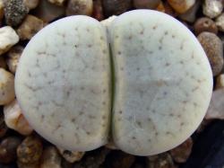 Lithops pseudotruncatella v. archerae C 306