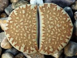 Lithops villetii ssp. kennedyi C 197