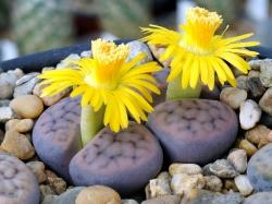 Литопсы цветущие