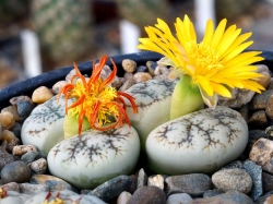 Lithops werneri C 188