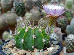 Acanthocalycium spiniflorum v. macranthus LB 1160