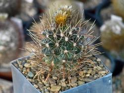 Ancistrocactus brevihamatus SB 317