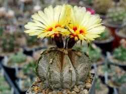 Astrophytum capricorne PP 475