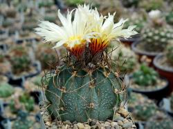 Astrophytum capricorne PP 518