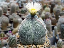 Astrophytum myriostigma 'Bohumil Schutz'