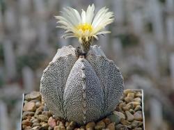 Astrophytum myriostigma 'Onzuca'