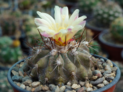 Copiapoa grandiflora WM 225