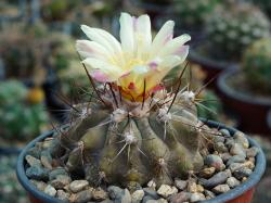 Copiapoa grandiflora WM 225