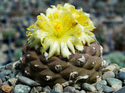 Copiapoa hypogaea WM 148