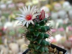 Coryphantha clavata v. radincatissima P 357