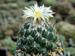 Coryphantha maiz-tablasensis PP 251