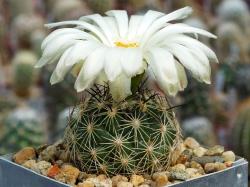 Coryphantha neglecta CZ 053