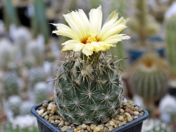 Coryphantha obscura SB 714