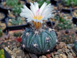 Echinocactus horizonthalonius v. subikii RS 615