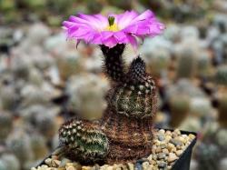 Echinocereus bristolii L 607