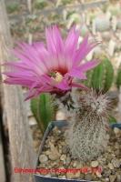 Echinocereus chisoensis HK 373