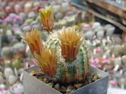 Echinocereus chloranthus SB 1476