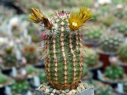 Echinocereus chloranthus v. longispinus PP 727