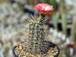 Echinocereus coccineus ssp. rosei BW 63