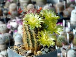 Echinocereus milleri MAO 0019