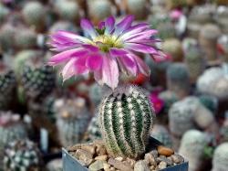 Echinocereus reichenbachii SB 941