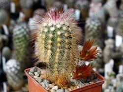 Echinocereus russanthus PP 723.1