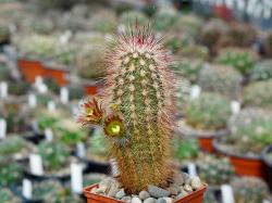 Echinocereus russanthus SB 420