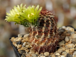 Echinocereus viridiflorus v. robustor HK 1007