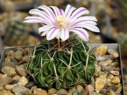 Echinofossulocactus albatus L 1180