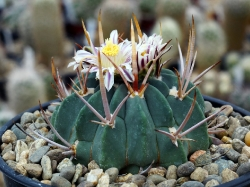 Echinofossulocactus coptonogonus SB 13
