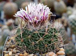 Echinofossulocactus crispatus L 738