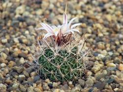 Echinofossulocactus erectocentrus MK 121.39