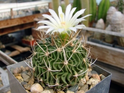 Echinofossulocactus lloydii L 1008