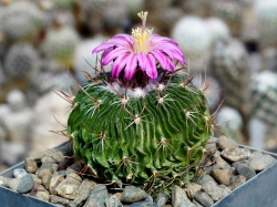 Echinofossulocactus multicostatus SB 1147