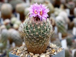 Echinofossulocactus ochoterenaus N 82.091