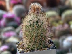 Echinomastus durangensis f. reineke TK 314